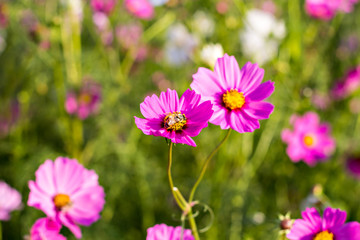 Cosmos flowers and bee in the garden