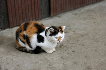 Tricolor cat on the pavement.