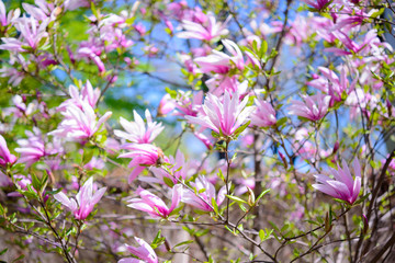 Beautiful Pink Magnolia Flowers. Spring Background