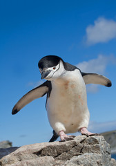 Chinstrap penguin standing on rock, with open wings, curious, clean blue background, South Shetland Islands, Antarctica