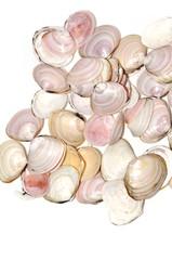 Shells from the bivalve mollusk Baltic macoma