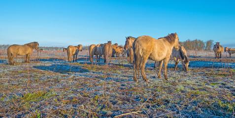 Horses in frozen nature in winter