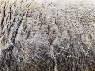 Sheep and its wool