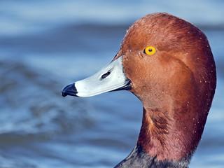 Redhead Duck Closeup