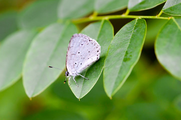Celastrina Argiolus Also Called Holly Blue