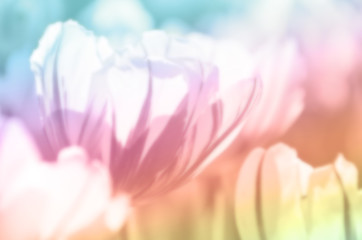Abstract Tulip blurred soft tone color ,This photo have concept to present the Tulip in a soft and blur gives a feeling of love and dreams are suitable to be used as background for relevant content