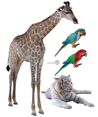 set of vector illustration of wild animals in tropical countries a giraffe, white tiger, parrots realistic in polygonal (low poly) origami style.