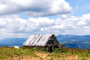 Old ruined wooden barn in the mountains and cow