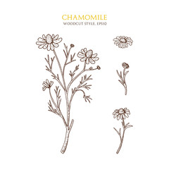 Vector botanical illustration of chamomile on white background. Hand drawn sketch in woodcut style.