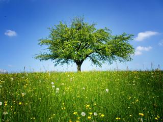 lonely tree (253) apple tree