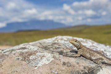 Lizard in road to Mount Roraima - Venezuela, Latin America