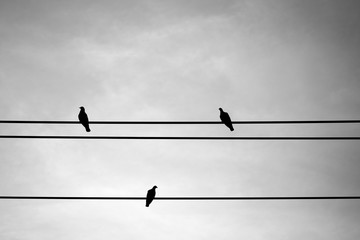 Three pigeon on electric wire