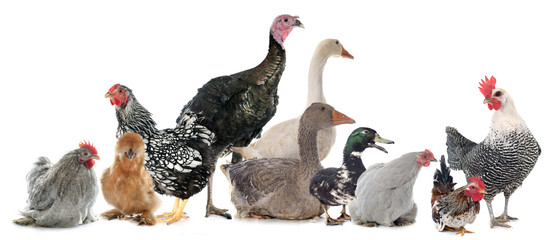 group of poultry