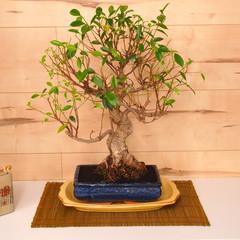 Zona bonsai