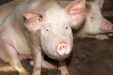 portrait of a pig farm