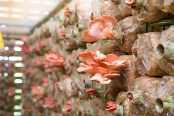 Organic mushroom growing In a farm