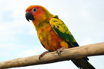 Colorful yellow parrot, SunConure  standing on the branch