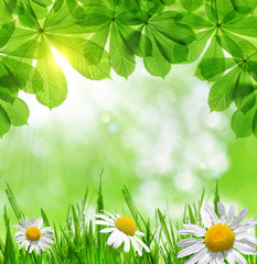 Green grass with daisies. Spring background