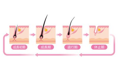 毛 毛周期 ヘアサイクル