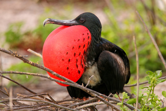Male Magnificent Frigatebird with inflated gular sac on North Se