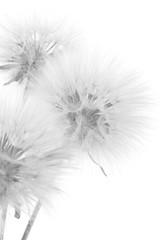 Bouquet of dandelions