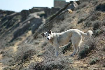 Stray dog facing down slope of hillside in Azerbaijan. Lokbatan is a small town 15km south west of Baku, Azerbaijan, with hills on the Caspian Sea coast
