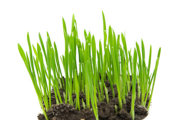 Green wheat isolated