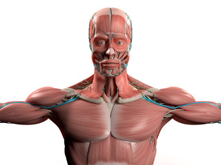 Human anatomy showing face, head, shoulders and torso muscular system, bone structure and vascular system on stylish white background.