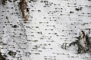 birch bark texture background paper close up close up