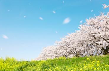 Fotobehang Kersenbloesem 日本の春の風景 桜 染井吉野 桜吹雪