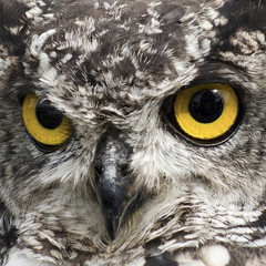 Look Into My Eyes, close up image an African Eagle Owl