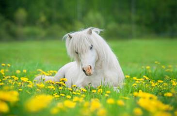 Fototapete - Little lovely shetland pony sleeping on the field with flowers