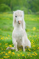 Funny little shetland pony sitting on the field with flowers