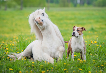 Little shetland pony and american staffordshire terrier dog on the field with yellow flowers