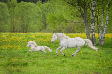 Beautiful white horse with little pony running on the field with dandelions