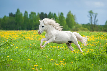 Beautiful white shetland pony running on the field with dandelions