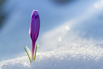 View of magic blooming spring flowers crocus growing from snow