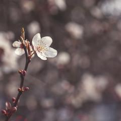 cherry tree flowers blooming in springtime