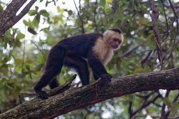 White faced monkey in branches.