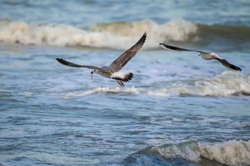 Gabbiano vola con un verme nel becco sopra il mare in tempesta
