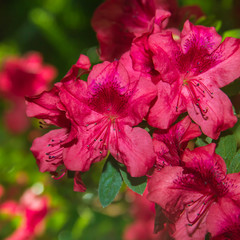 pink blooming azalea bush