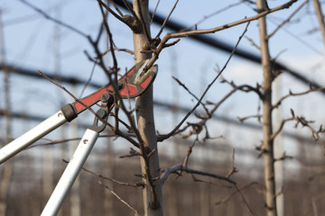pruning in the orchard