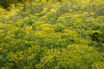 Dill plant. Fennel flower.