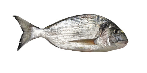 Sea bream profile isolated on white
