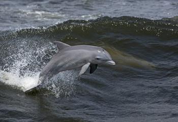 Bottlenose Dolphin (Tursiops truncates)