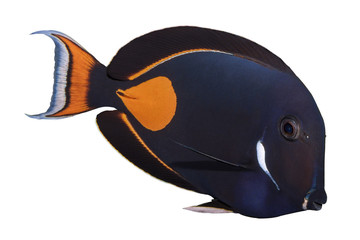 Achilles Tang isolated on white