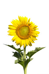 sunflower blooming on white background.