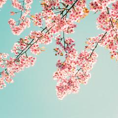Wall Mural - Nature background of beautiful sakura pink flower in spring - vintage pastel color filter