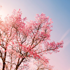 Wall Mural - Nature background of beautiful cherry pink flower in spring - serenity and rose quartz color filter