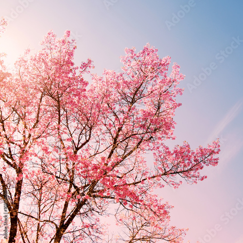 Wall mural Nature background of beautiful cherry pink flower in spring - serenity and rose quartz color filter
